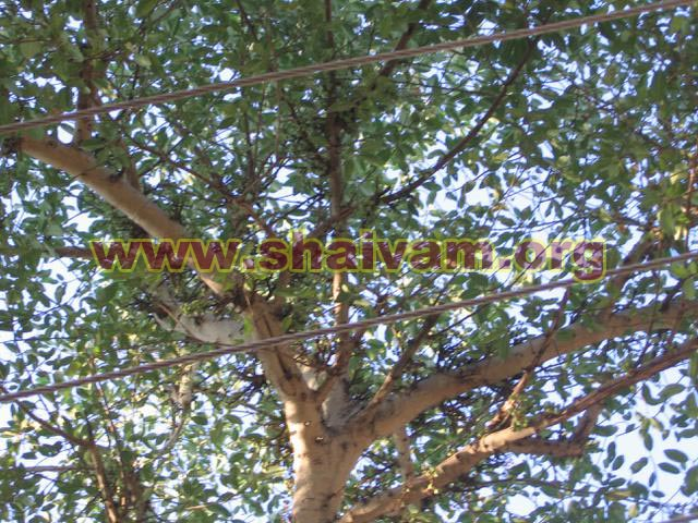 Fig tree canopy