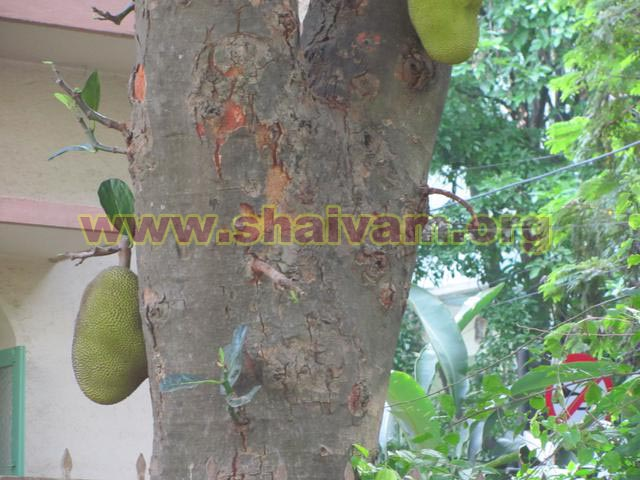Jackfruit tree bark