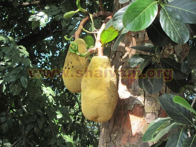 Jackfruit tree fruit