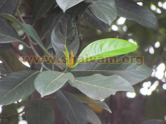 Jackfruit tree leaf