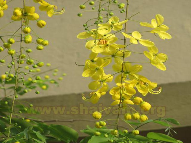 Flower of Konrai / Laburnum
