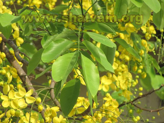 Leaf of Konrai / Laburnum