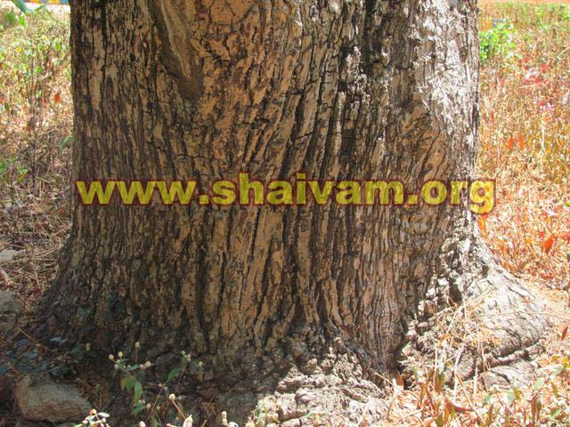 Bark of Maulsari (Mahizham) tree