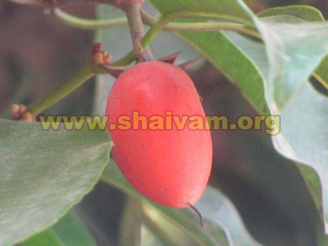 Fruit of Maulsari (Mahizham) tree
