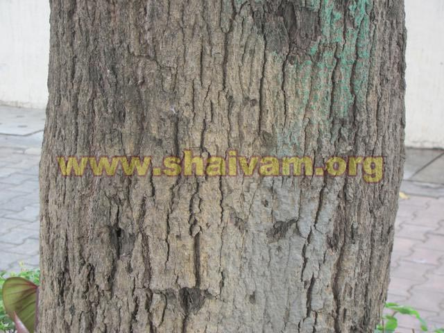 Bark of Mango tree
