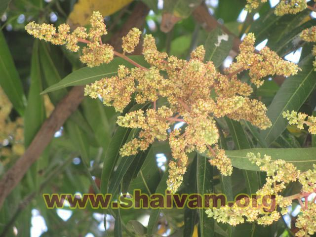 Flower of Mango tree