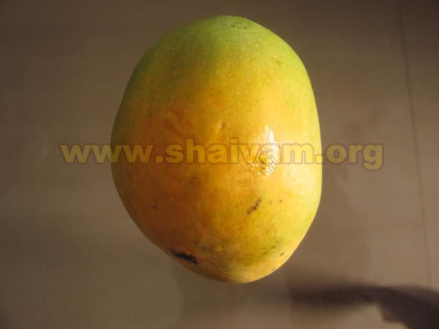 Fruit of Mango tree