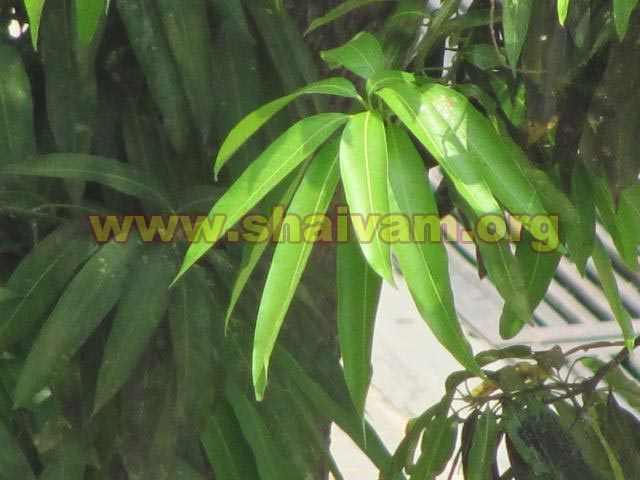 Leaf of Mango tree