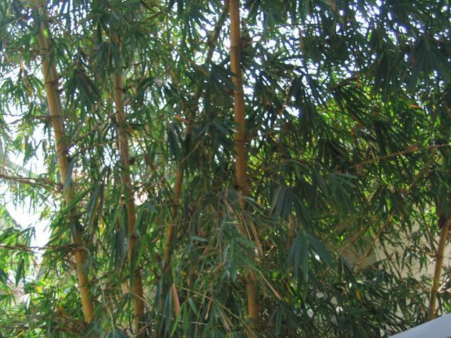 Moongkil (Golden Bamboo)