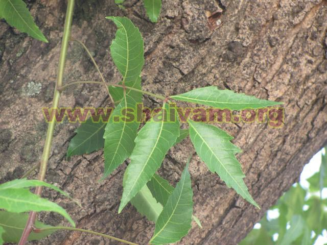 Neem tree leaf