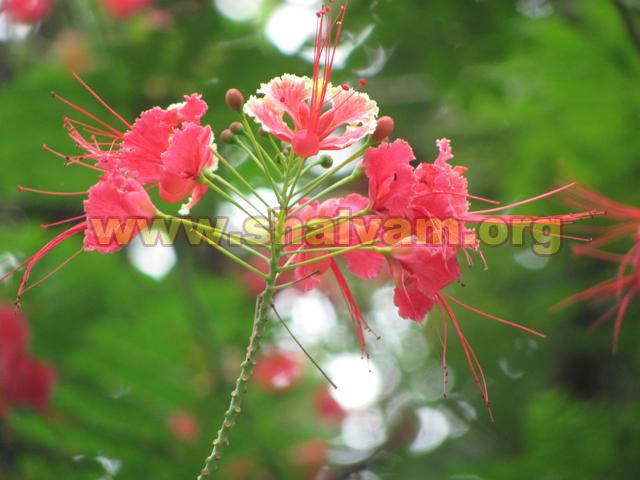 Flower of pink color Konrai