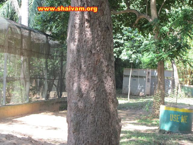 sandalwood tree bark