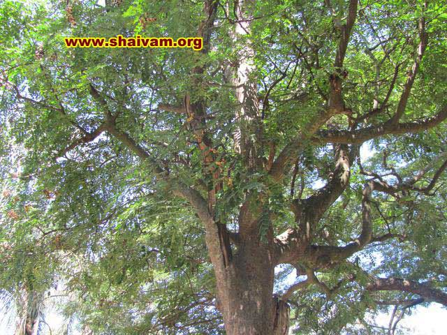 sandalwood tree canopy