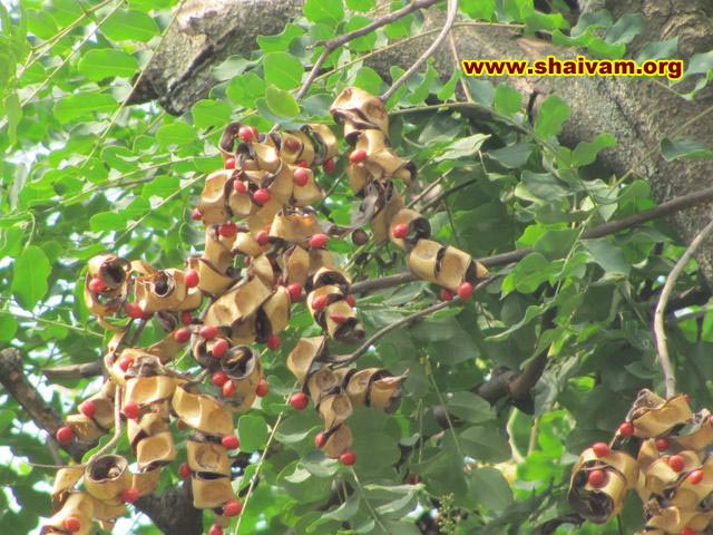sandalwood tree fruit