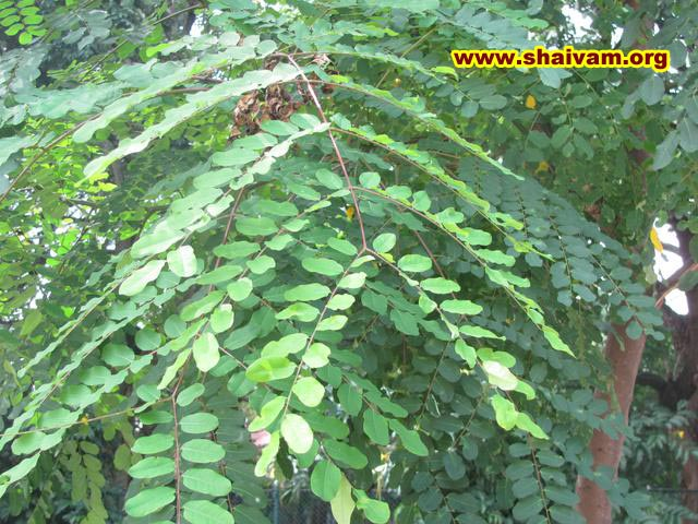 sandalwood tree leaf